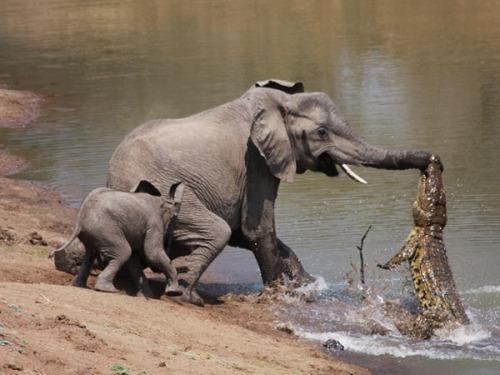 Elephant-vs-alligator-fight-1_28154_600x450